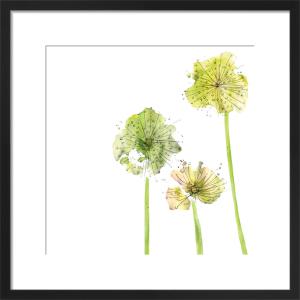 Allium by Louise Cunningham