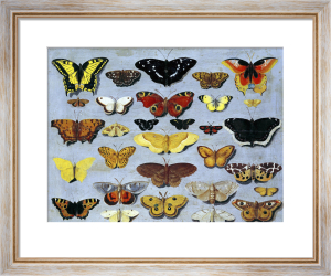 Butterflies by Flemish School