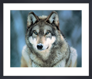 Grey Wolf (small) by Anonymous