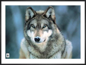 Grey Wolf by Anonymous