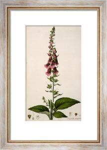 Digitalis purpurea or Foxglove, 1817 by William Curtis