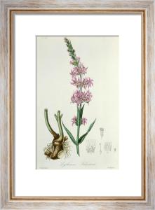 Lythrum salicaria by John Stephenson
