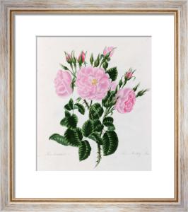 Rosa Damascena Bifera or Autumn Damask Rose by Mary Lawrance