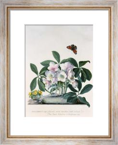 Helleborus Niger or Christmas Rose by Georg Dionysus Ehret