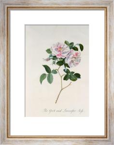 Rosa damascena versicolor or the York and Lancaster Rose by Georg Dionysus Ehret