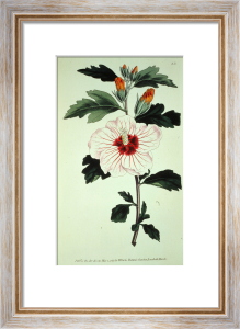 Hibiscus Syriacus, from Botanical Magazine, 1797 by Anonymous