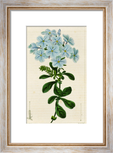Plumbago auriculata or leadwort, engraving by Pancrace Bessa