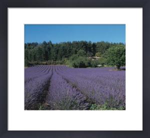 Lavender fields on the Plateau de Sault, Provence, France by Danita Delimont