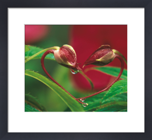 Begonia bud in heart shape with drops by Danita Delimont