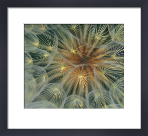 Dandelion seed head close-up by Danita Delimont