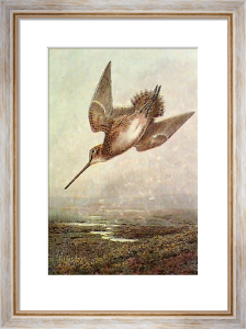 Drumming Snipe (Restrike Etching) by Archibald Thorburn