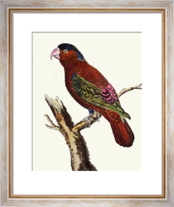 Exotic Bird - Lory Indes (Restrike Etching) by Martinet