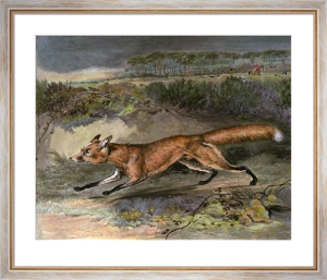 Fox Breaking Cover (Restrike Etching) by Francis Calcraft Turner