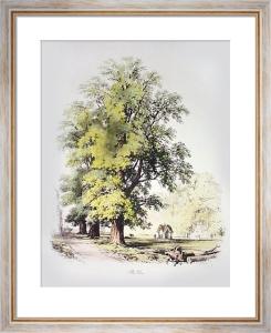 Elm Tree (Restrike Etching) by Elizabeth Barnard