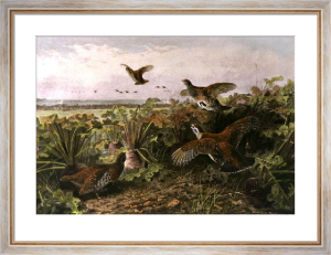 The Last Bit of Cover (Restrike Etching) by Archibald Thorburn