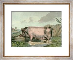 British Boar (Restrike Etching) by Sir Edwin Henry Landseer