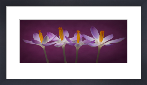 Crocus Flowers by Assaf Frank