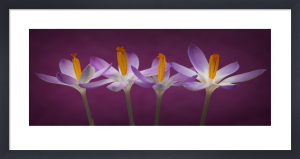 Crocus Flowers by Assaf Frank
