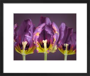 Rococo Tulips by Assaf Frank