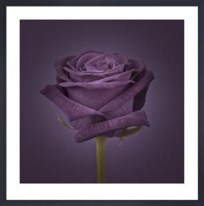 Violet Rose by Assaf Frank