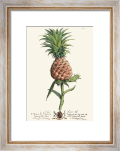 Palm Pl.21 The Pineapple (Restrike Etching) by Georg Dionysus Ehret