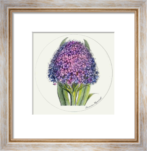 Peruvian Hyacinth (Restrike Etching) by Anonymous