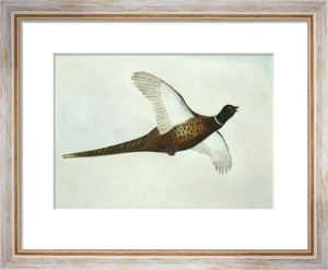 Pheasant (Restrike Etching) by Anonymous