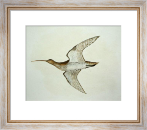 Curlew (Restrike Etching) by Anonymous
