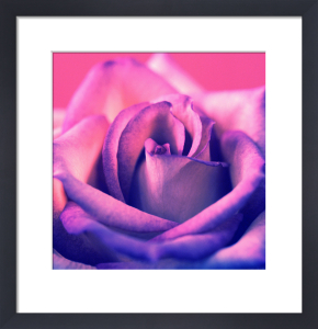 Pink Rose by Erin Rafferty