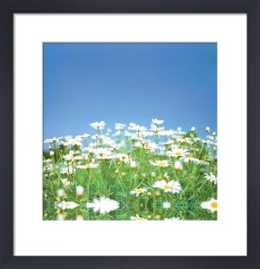 Daisy Field by Erin Rafferty