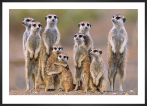 Meerkats - Family by Anonymous