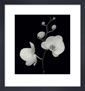 Two Orchids and Five Buds by Mary Anne Bushweller