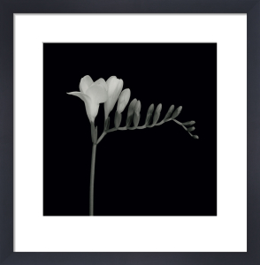 Freesia Right by Mary Anne Bushweller