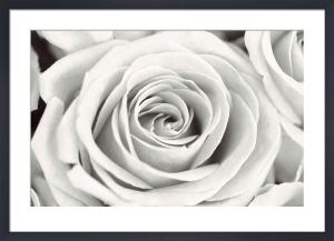 Rose by Frank Krahmer