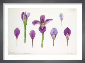 Iris Cross-section by Lillian Snelling