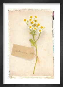 Daisies by Deborah Schenck