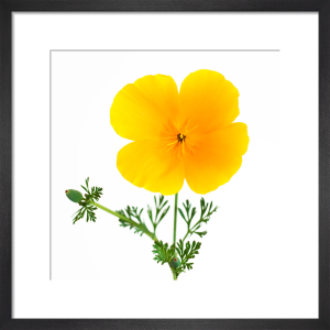 California Poppy by Deborah Schenck