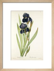 Iris germanica by Pierre Joseph Celestin Redouté