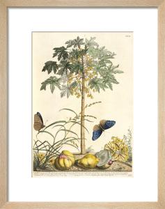 1. Papaya, 2. Ana gallis, 3. Gramen by George Dionysus Ehret