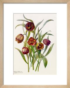 Fritillaria califolia by Lillian Snelling