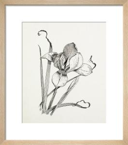 Iris unguicularis (Iris stylosa) by Graham Stuart Thomas