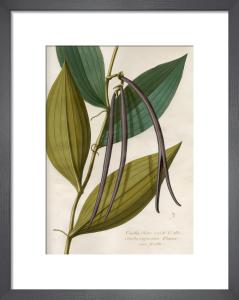 Vanilla flore viridi et albo,fructa nigrescente Plumer cum fructa by Claude Aubriet