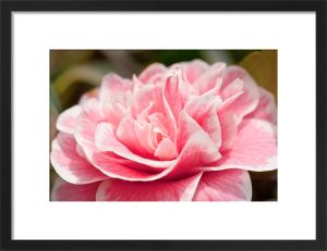 Camellia japonica 'Hikarugenji' by Carol Sheppard