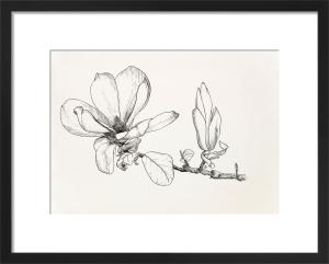 Magnolia x soulangeana by Graham Stuart Thomas