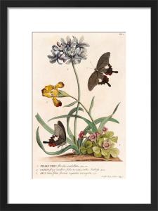1. Polyanthes, 2. Oxalis, 3. Iris by Georg Dionysus Ehret