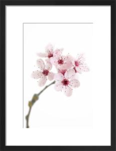 Cherry Blossom by Deborah Schenck