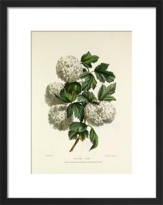 Gelder Rose by Charles Joseph Hullmandel