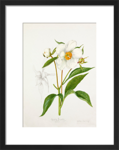 Paeonia emodi by Lillian Snelling