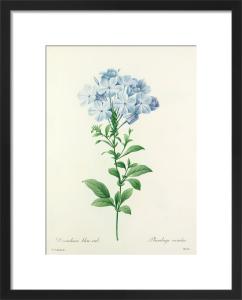 Dentelaire bleu-ciel : Plumbago caerulea by Pierre Joseph Celestin Redouté