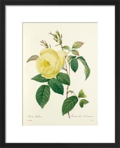 Rosa Indica : Rosier des Indes jaune by Pierre Joseph Celestin Redouté
